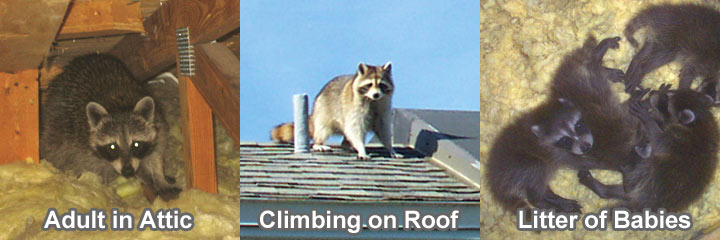 raccoons in and on the roof in venice florida
